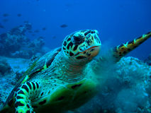 Hawksbil turtle. Hawksbill turtles are one of the lovely  turtles in the sea Royalty Free Stock Photo