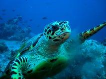 Hawksbil turtle Royalty Free Stock Photo