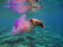 Hawksbill turtle with jelly fish. A hawksbill turtle is eating a jelly fish Stock Photography