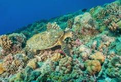 Hawksbill海龟水下在珊瑚礁 库存照片