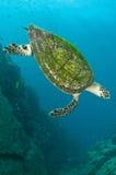 hawksbill海龟 免版税图库摄影