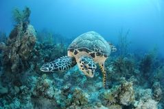 hawksbill żółw obraz stock