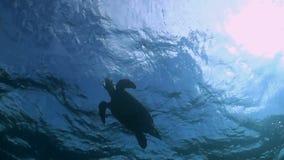 Hawksbill żółw pływa powierzchnia zbiory wideo