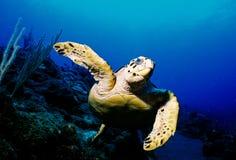 hawksbill żółwia Zdjęcie Royalty Free