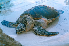hawksbill χελώνα Στοκ εικόνα με δικαίωμα ελεύθερης χρήσης