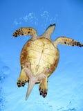 hawksbill χελώνα στοκ φωτογραφία