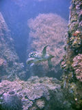hawksbill χελώνα Στοκ Εικόνα