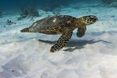 Hawksbill denny żółw Fotografia Royalty Free