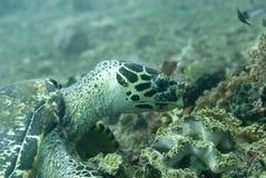 hawksbill denny żółw Zdjęcie Royalty Free
