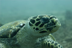 hawksbill denny żółw Zdjęcia Royalty Free