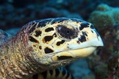 Hawksbill denny żółw Fotografia Stock