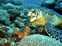 Hawksbill Eating Stock Photography