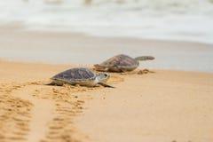 Hawksbill havssköldpadda på stranden arkivbilder