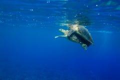 2 Hawksbill-imbricata van schildpaddeneretmochelys het koppelen in de oceaan Stock Foto