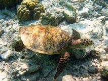 hawksbill maldivian乌龟 免版税图库摄影