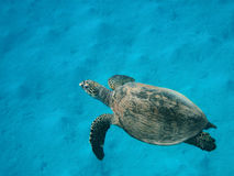 Hawksbill-Meeresschildkröte, die über Sandunterseite schwimmt stockfotografie