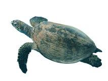 Hawksbill-Meeresschildkröte lokalisiert auf weißem Hintergrund Lizenzfreie Stockfotografie