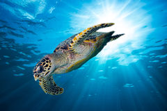 Hawksbill-Meeresschildkrötetauchen unten in den tiefen blauen Ozean Lizenzfreie Stockfotografie