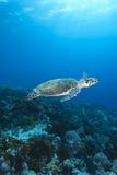 Hawksbill Morza Żółw Zdjęcia Royalty Free