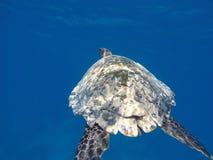 Hawksbill morze Fotografia Stock