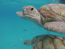 2 Hawksbill-Natuurreservaat van schildpadden het onderwater dichte omhooggaande Barbados Stock Foto's