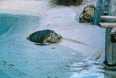 Hawksbill Schildkröte Stockfoto
