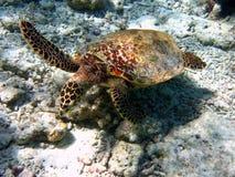 Hawksbill Schildkröte #3 Lizenzfreies Stockbild