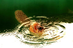 Hawksbill Schildkröte Lizenzfreie Stockbilder