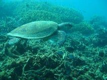 Hawksbill Schildkröte (Eretmochelys imbricata) Lizenzfreie Stockfotos