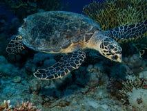 Hawksbill Schildkröte (Eretmochelys imbricata) lizenzfreies stockfoto