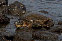 Hawksbill Schildkröte Lizenzfreie Stockfotografie