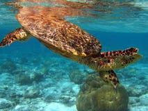 Hawksbill Schildkröte im Meer stockbild