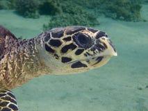 Hawksbill Schildkröte-Nahaufnahme Stockbilder