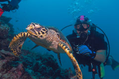 Hawksbill Schildkröte und Taucher Lizenzfreies Stockfoto