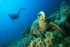 Hawksbill Schildkröte und Unterwasseratemgerät-Taucher Lizenzfreies Stockbild