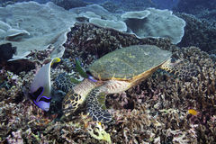 Hawksbill Sea Turtle Stock Photo
