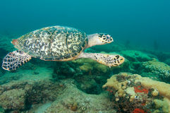 Hawksbill Sea Turtle. Eretmochelys imbriocoata, picture taken on a reef in Lauderdale By The Sea,Florida Stock Image