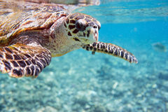 Hawksbill sea turtle. Close up of Hawksbill sea turtle swimming in Indian ocean in Seychelles Royalty Free Stock Photo