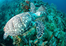 Hawksbill sea turtle. Underwater view of Hawksbill sea turtle swimming over coral reef in ocean Royalty Free Stock Photo