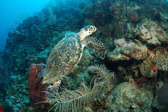 Hawksbill sea turtle Royalty Free Stock Photos