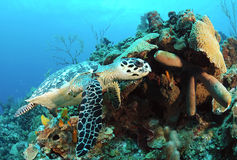 Hawksbill sea turtle. Underwater view of hawksbill sea turtle swimming in coral reef Stock Images