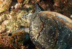 Hawksbill sea turtle Stock Photography