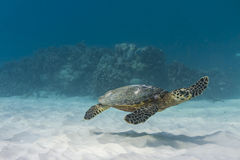 Hawksbill sea turtle Royalty Free Stock Image