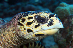 Hawksbill sea turtle. (Eretmochelys imbricata) in the coral reef Stock Photography