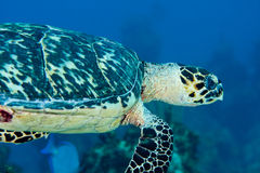 Hawksbill Sea Turtle. Close-up of a Hawksbill Sea Turtle in the Bahamas Stock Photography