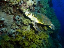 Hawksbill Sea Turtle. A nice meeting underwater, this turtle was cooperating quite well, this animals could be fast underwater Royalty Free Stock Photos