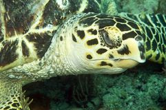 Hawksbill Sea Turtle. Closeup of a Hawksbill Sea Turtle picture taken in south east Florida Stock Images