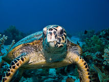 Hawksbill sea turtle. On coral reef in Red Sea. Close up Stock Image