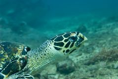 Hawksbill Sea Turtle Stock Images