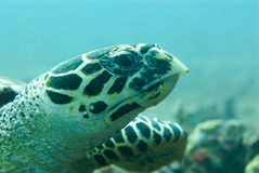 Hawksbill Sea Turtle Royalty Free Stock Photography